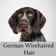 German Wirehaired Hair