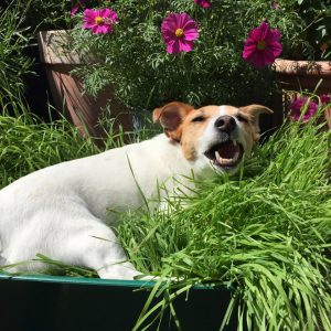Why does my dog ​​eat grass