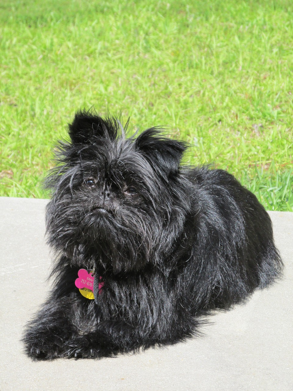 Affenpinscher: Dog Breed Information, Facts and Pictures