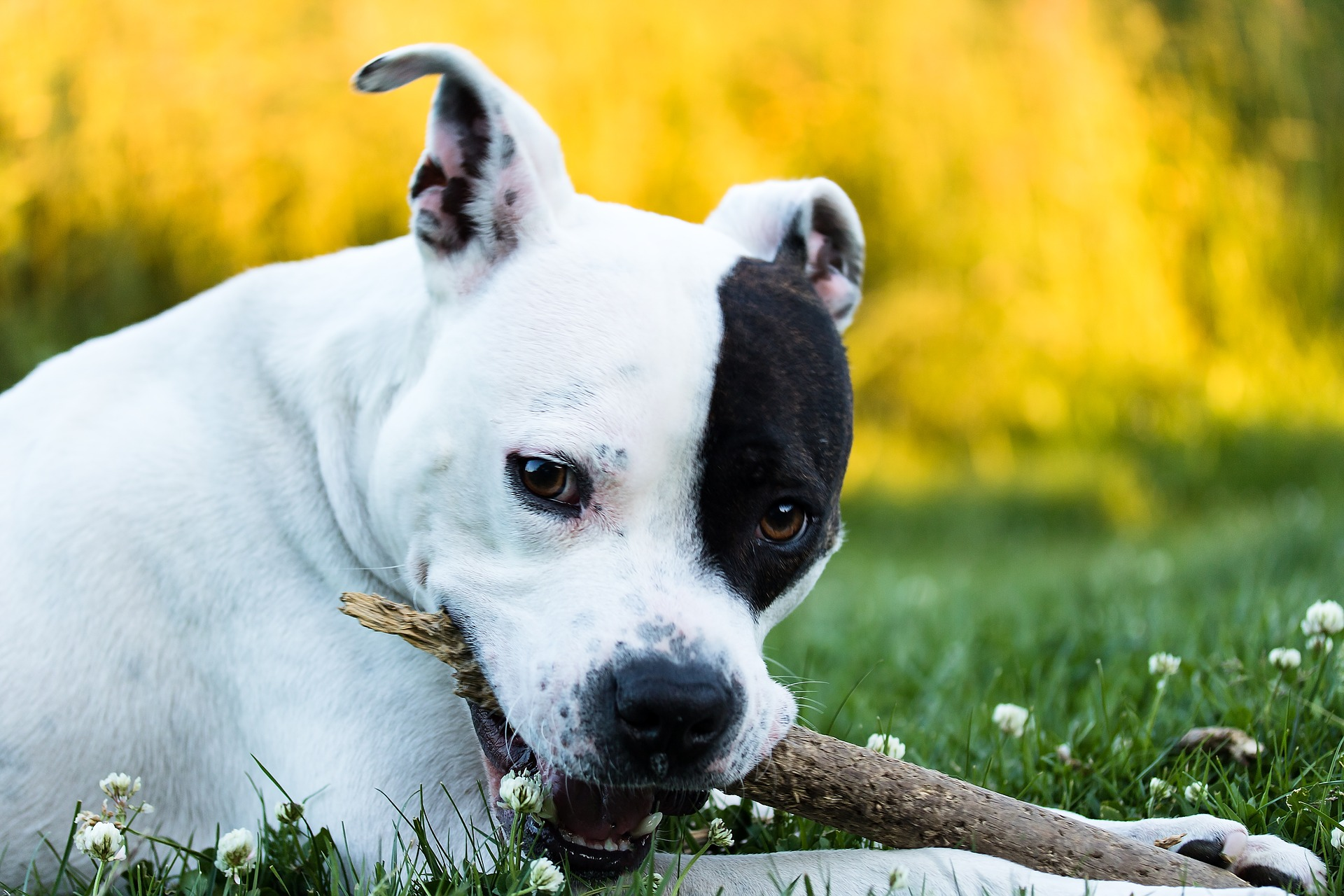 American Staffordshire Terrier: Dog Breed Information, Facts and Pictures