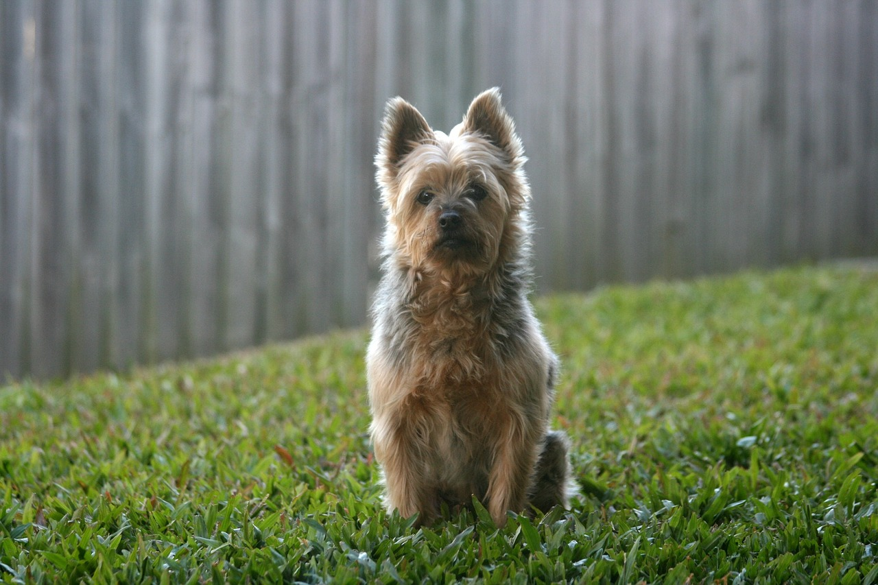 Australian Terrier: Dog Breed Information, Facts and Pictures