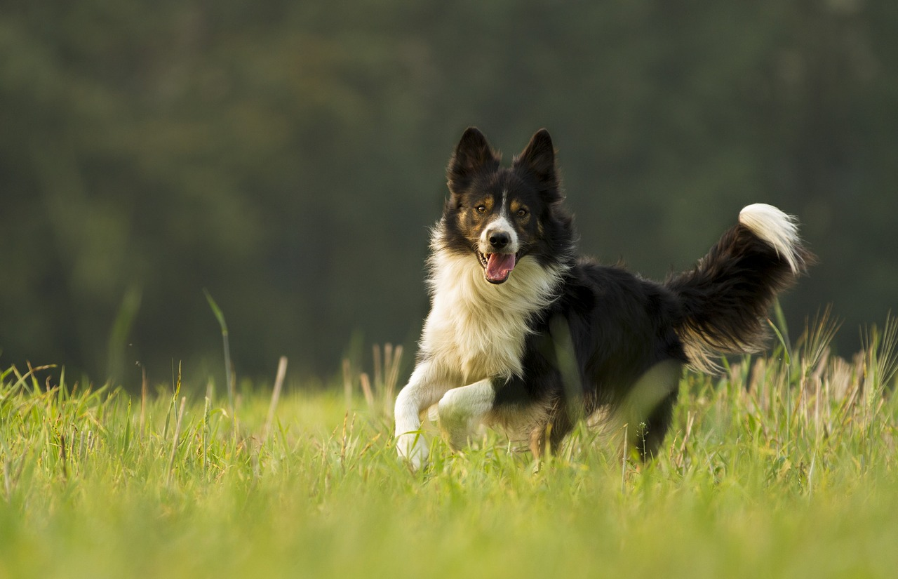 Border Collie: Dog Breed Information, Facts and Pictures