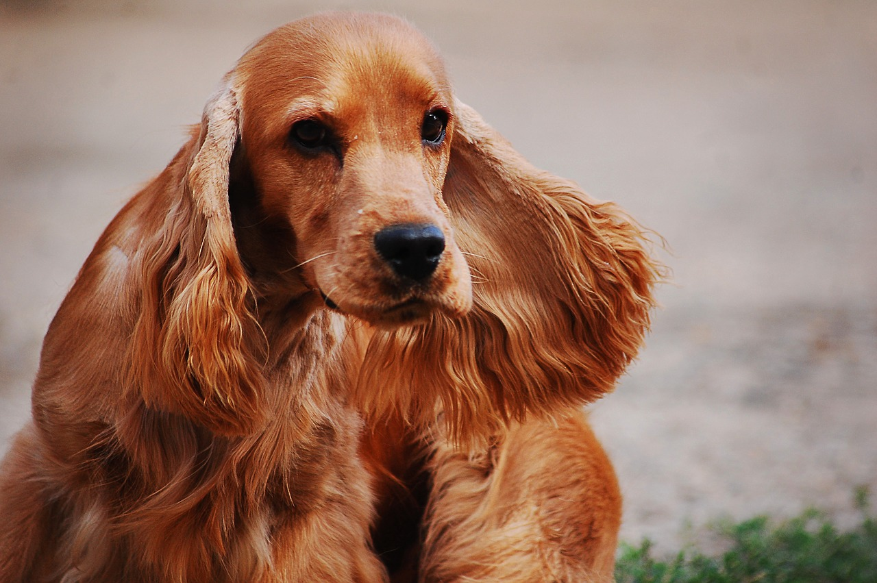 English Cocker Spaniel: Dog Breed Information, Facts and Pictures