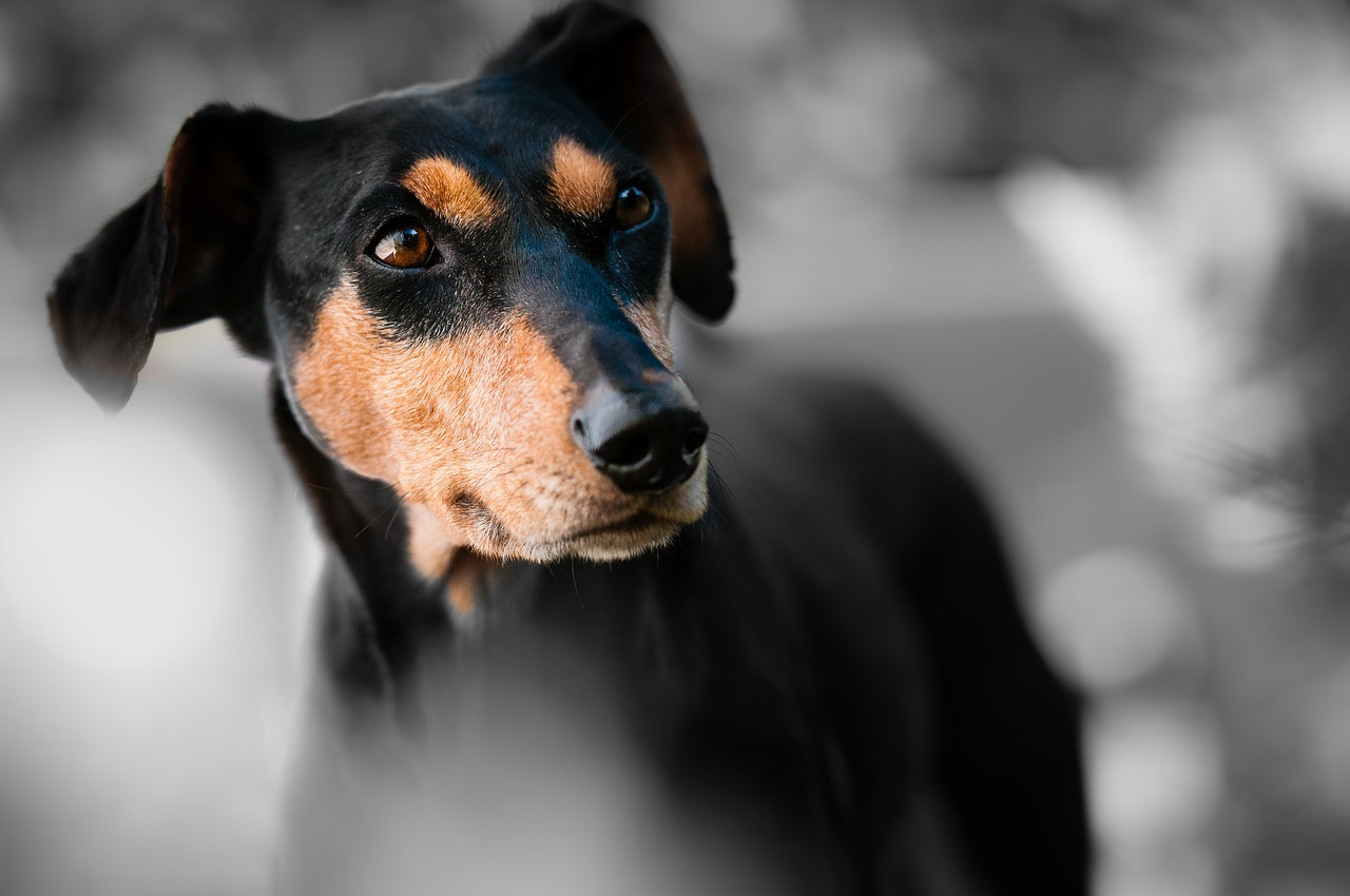 German Pinscher: Dog Breed Information, Facts and Pictures