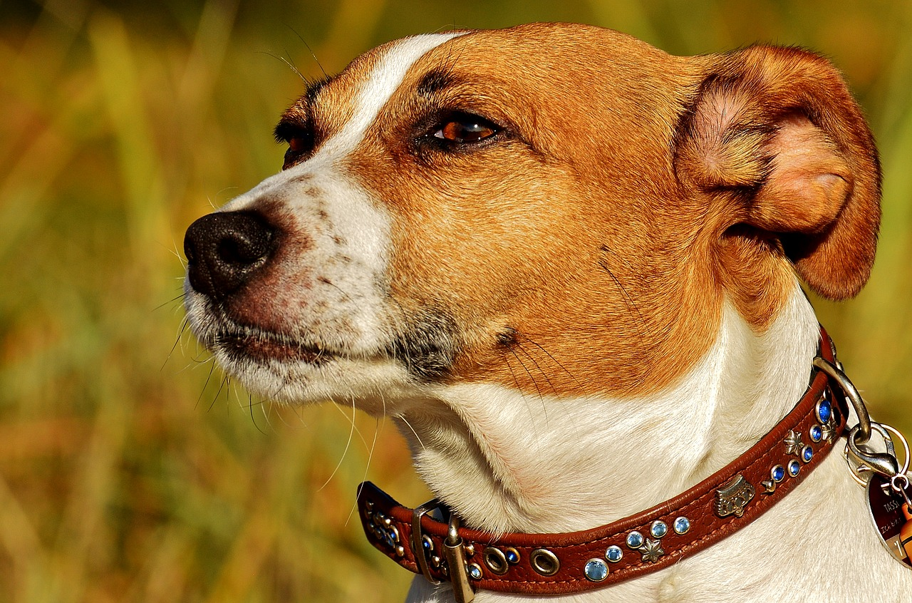 Jack Russell Terrier: Dog Breed Information, Facts and Pictures