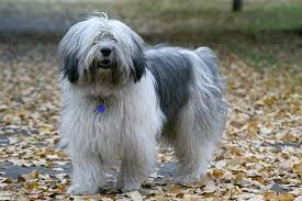 Polish Lowland Sheepdog: Dog Breed Information, Facts and Pictures