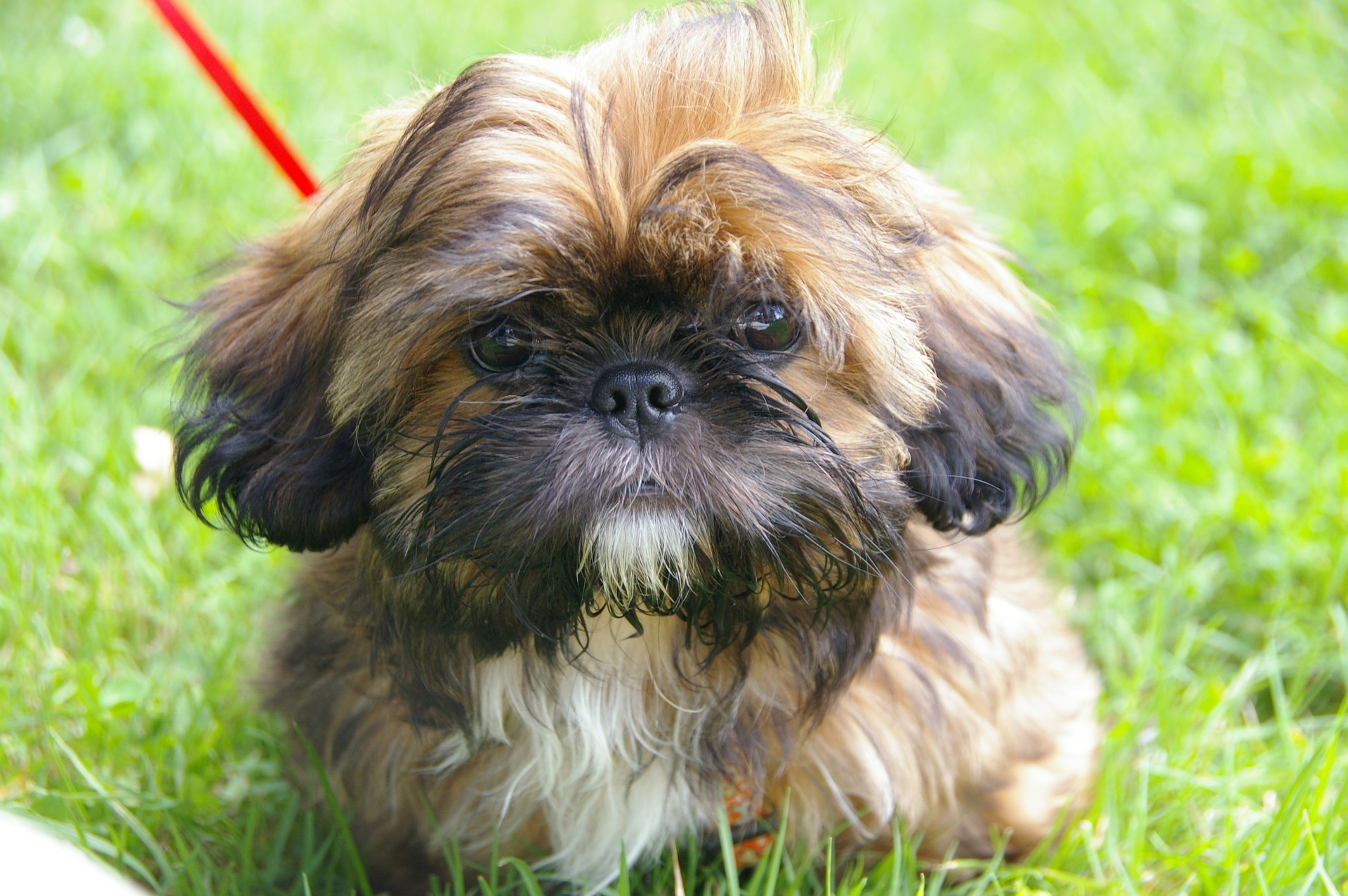 Shih Tzu: Dog Breed Information, Facts and Pictures