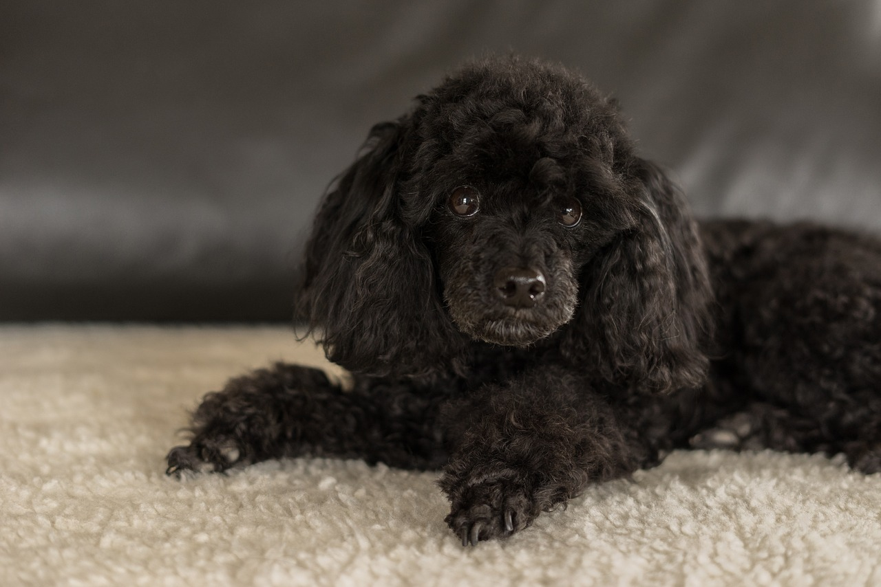 Poodle: Dog Breed Information, Facts and Pictures