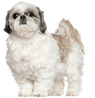 Shih Tzu Dog Breed Information Facts And Pictures Dog Lover India