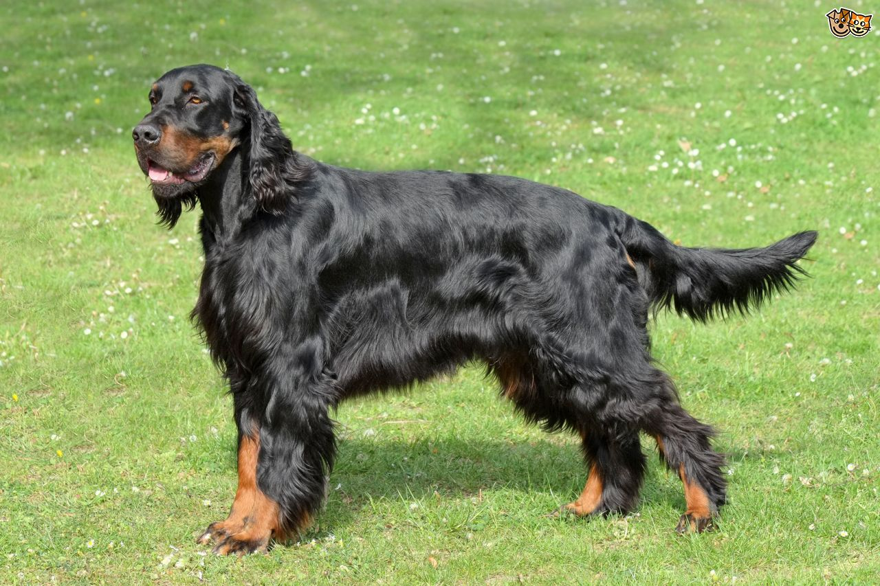 Gordon Setter: Dog Breed Information, Facts and Pictures