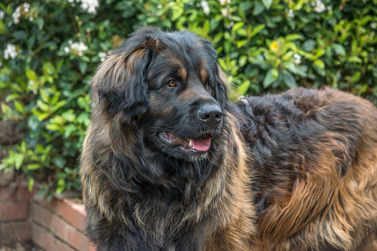 Leonberger: Dog Breed Information, Facts and Pictures