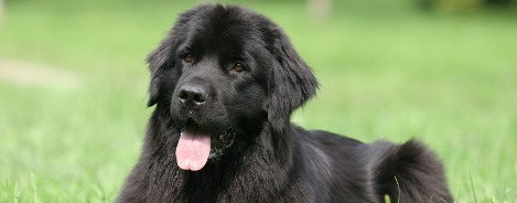 Newfoundland: Dog Breed Information, Facts and Pictures