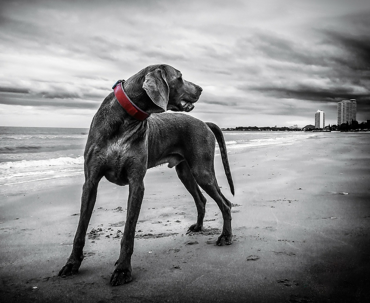 Weimaraner: Dog Breed Information, Facts and Pictures
