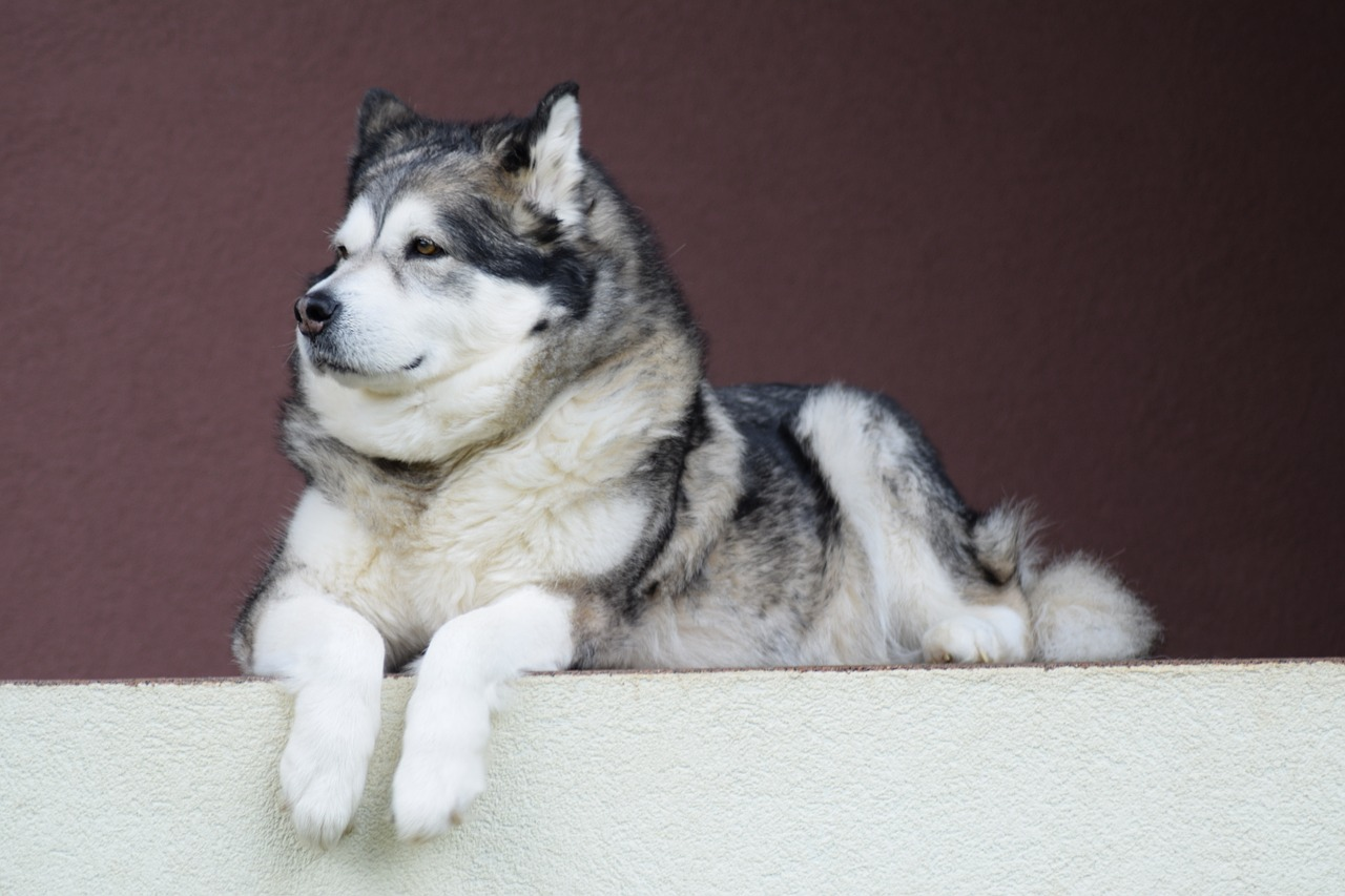 Alaskan Malamute: Dog Breed Information, Facts and Pictures