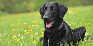 Flat coated retriever: Dog Breed Information, Facts and Pictures