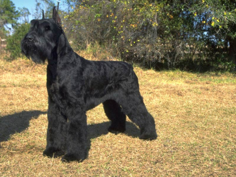 Giant schnauzer: Dog Breed Information, Facts and Pictures